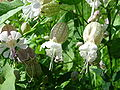 Silene vulgaris 1 (2005 08 28).jpg