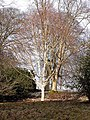 Silver birch and snowdrops in Belsay Gardens - geograph.org.uk - 1172090.jpg