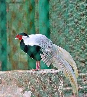 Silver pheasant species of bird