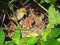 Silvereye nest feeding chicks.jpg