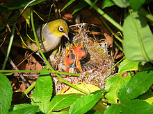 Silvereye nest feeding chicks.jpg