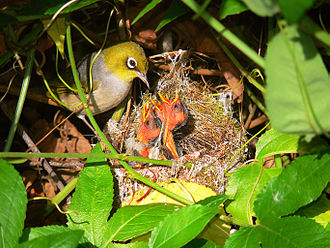 Silvereye - Nest and chicks
