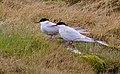 Silvertärna Arctic Tern (14548623673).jpg