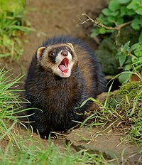 Singing polecat?.jpg