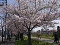 Sinkawasakura01.jpg