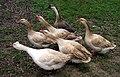 Six Geese.jpg