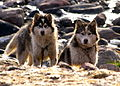 Sled dogs, Grise Fiord, Nunavut (2008).jpg