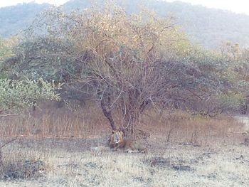 Sleeping lion - Gir Forest6.jpg