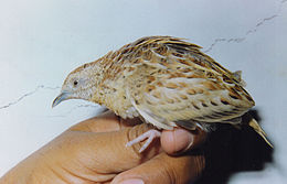 Small Buttonquail Turnix sylvaticus Amravati (1). Maharashtra, India.jpg