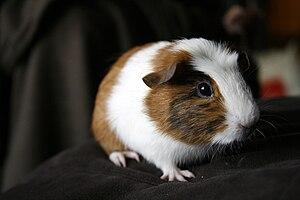 A young female guinea pig