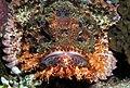 Smallscale scorpionfish, Scorpaenopsis oxycephala - or at least I think so - a mugg shot. (6163712702).jpg