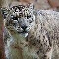 Snow-Leopard Uncia-uncia.jpg