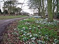 Snowdrops and aconites behind All Saints Church, Brandsby - geograph.org.uk - 1728483.jpg