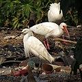 Snowy Egret - Flickr - treegrow (3).jpg