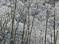 Snowy canopy - Flickr - pellaea (1).jpg