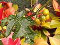 Solanum atropurpureum, Phipps Conservatory, 2015-10-01, 02.jpg