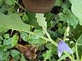 Solanum violaceum 34.JPG