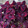 Solenostemon 'Red Velvet' Coleus ~ Myddelton House, Enfield, London, walled garden greenhouse (cropped).jpg