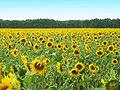 Sonnenblumenfeld.jpg