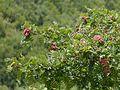 Sorbus ¿ aucuparia - foliolosa ? (7889003762).jpg