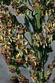 Sorghum bicolor flower (02).jpg