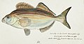 Southern Pacific fishes illustrations by F.E. Clarke 31.jpg