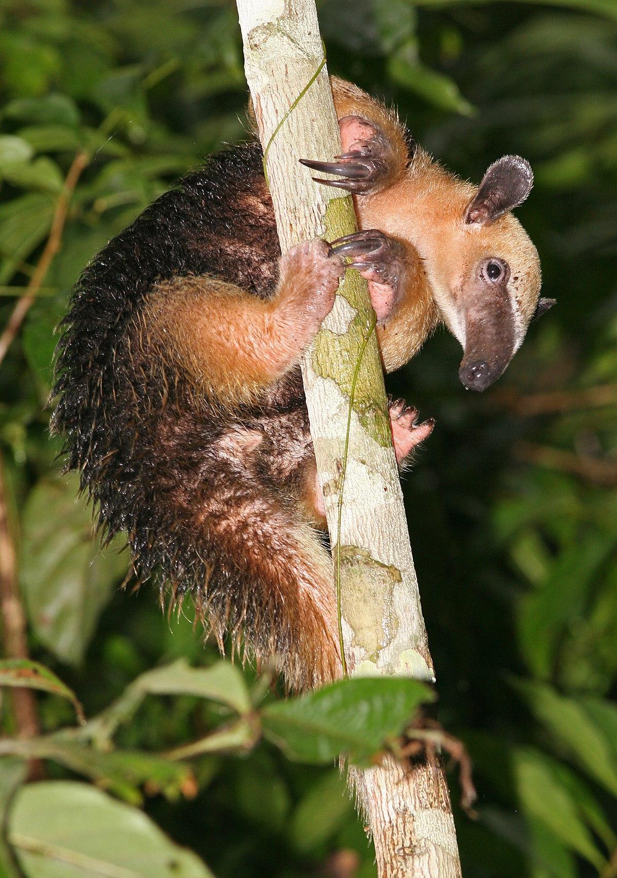 Tamandua tetradactyla - Wikipedia, la enciclopedia libre