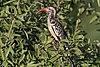 Southern red-billed hornbill (Tockus rufirostris) female.jpg