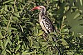 Southern red-billed hornbill (Tockus rufirostris) female.jpg