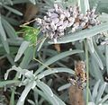 Speckled bush-cricket (Leptophyes punctatissima) and a spider eating a bee (6070405892).jpg