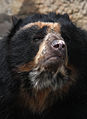Spectacled Bear.jpg