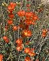 Sphaeralcea ambigua 11.jpg