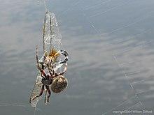 Spider v. dragonfly.jpg