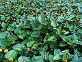 Spilanthes-groundcover-large.jpg