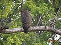 Spilornis cheela, Kanha National Park, India.jpg