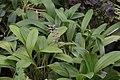 Spilotantha superbiens = Masdevallia superbiens (Orchidaceae) (30585539661).jpg