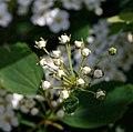 Spiraea × vanhouttei-Spirées de Van Houtte-Corymbe en boutons-20190409.jpg