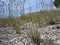 Sporobolus cryptandrus (5143703585).jpg