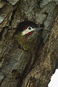 Spot-breasted Woodpecker - Colombia S4E8466 (16409560182).jpg