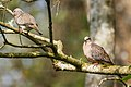 Spotted Dove A8856.jpg
