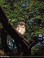 Spotted Owlet (Athene brama) (15868254556).jpg