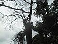 Stablo drago majmunima.jpg