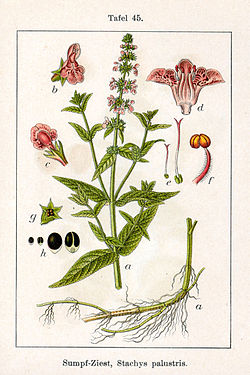 Stachys palustris Sturm45.jpg