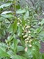 Starr-031108-0094-Conocarpus erectus-fruits-South Lido Beach-Florida (24047612863).jpg