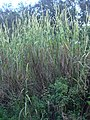 Starr-031108-3191-Cenchrus purpureus-habit-Tree Top Park-Florida (24648973166).jpg