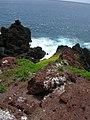 Starr-050405-5693-Sonchus oleraceus-habit-Alau-Maui (24716417146).jpg
