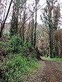 Starr-070908-9285-Eucalyptus globulus-rebounding after fire and carpets of seedlings-Polipoli-Maui (24799568481).jpg