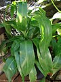 Starr-080103-1150-Dracaena fragrans-habit-Lowes Garden Center Kahului-Maui (24270746324).jpg