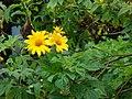 Starr-090417-6137-Tithonia diversifolia-flowers and leaves-Haliimaile-Maui (24925890736).jpg
