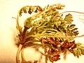 Starr-090504-7383-Erodium cicutarium-plant-Science City-Maui (24861118801).jpg
